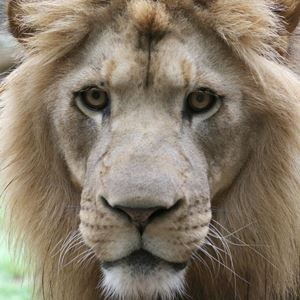 photo of an African lion who resides at the Greenville Zoo